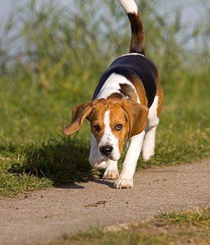 beagle-7